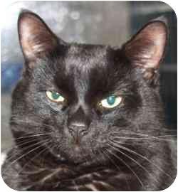Domestic Shorthair Cat for adoption in Walker, Michigan - Sammi #2