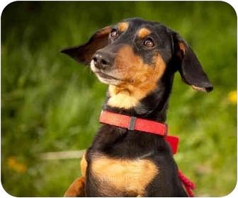 Dachshund Dog for adoption in Ile-Perrot, Quebec - STELLA