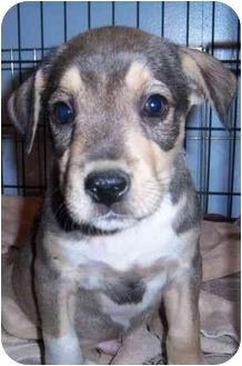 Labrador Retriever/Hound (Unknown Type) Mix Puppy for adoption in Richmond, Virginia - Froggie