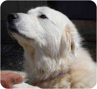 Great Pyrenees Dog for adoption in Pisgah, Alabama - Flossie