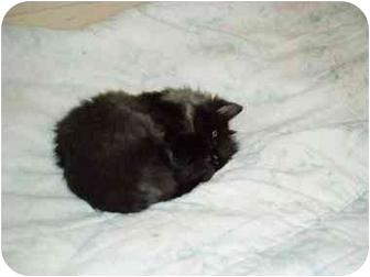 Domestic Longhair Kitten for adoption in Gaithersburg, Maryland - LUNA