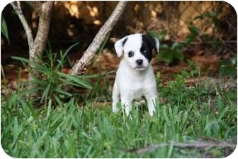 Terrier (Unknown Type, Small) Mix Puppy for adoption in Miami-Dade and Naples/Ft Myers areas, Florida - BELLA