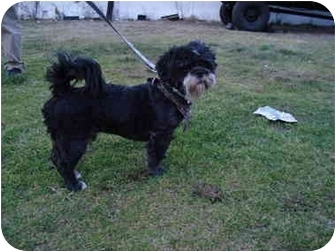 Shih Tzu Dog for adoption in Freeport, New York - Jason