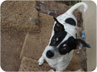 Rat Terrier Mix Dog for adoption in Astoria, New York - Suzanne