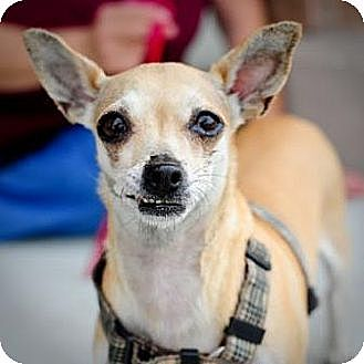 Chihuahua/Dachshund Mix Dog for adoption in West Palm Beach, Florida - Kiwi