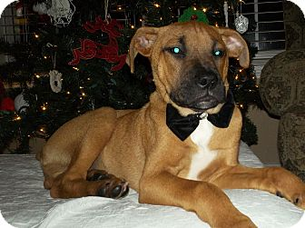 Boxer Mix Puppy for adoption in Parsippany, New Jersey - Nicholas