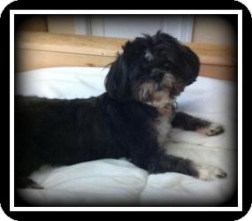 Shih Tzu Dog for adoption in Indian Trail, North Carolina - Maddie