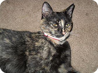 Domestic Shorthair Cat for adoption in Whittier, California - Cuddie