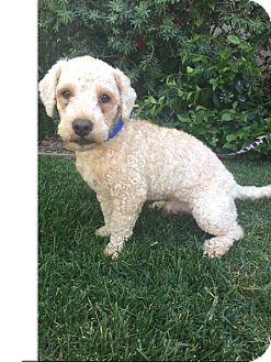 Poodle (Miniature)/Bichon Frise Mix Dog for adoption in Pasadena, California - ELTON