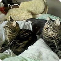 Domestic Mediumhair Cat for adoption in Monrovia, California - Amy and Petey