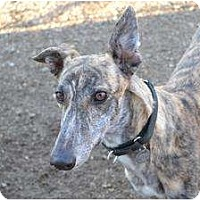 Adopt A Pet :: Sydney (KB's Stillgotit) - Chagrin Falls, OH