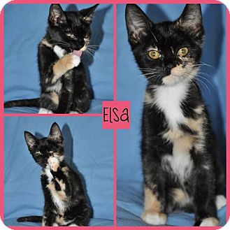 Domestic Shorthair Kitten for adoption in Spring Valley, New York - Elsa