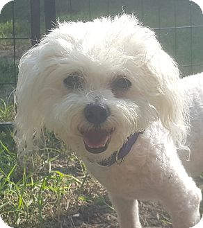 Bichon Frise/Poodle (Miniature) Mix Dog for adoption in Wichita, Kansas - Cotton