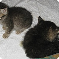 Adopt A Pet :: Ziggy - Dallas, TX
