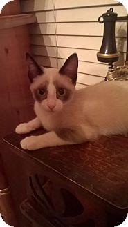 Siamese Kitten for adoption in West Hills, California - Musumi