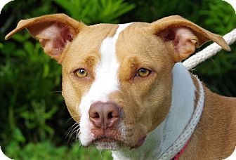 American Staffordshire Terrier Mix Dog for adoption in Daytona Beach, Florida - Camille