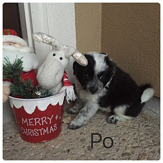Border Collie Mix Puppy for adoption in Hartford, Connecticut - Po