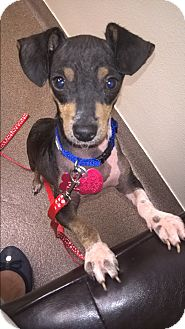 Dachshund/Chihuahua Mix Puppy for adoption in Vancouver, British Columbia - Clancy
