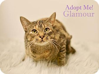 Domestic Shorthair Cat for adoption in West Des Moines, Iowa - Glamour