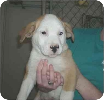 Boxer/Husky Mix Puppy for adoption in Salem, New Hampshire - Blue Man Groove