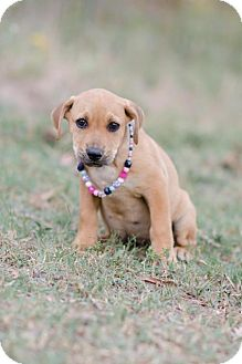 Labrador Retriever Mix Puppy for adoption in Seneca, South Carolina - Gene $250
