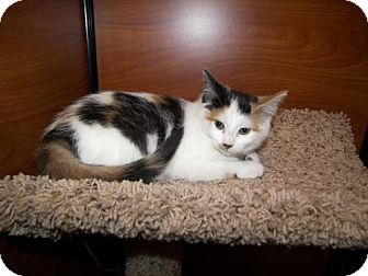 Domestic Shorthair Cat for adoption in Hamilton, Ontario - Hannah