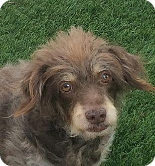 Poodle (Miniature)/Miniature Pinscher Mix Dog for adoption in Santa Ana, California - Brownie