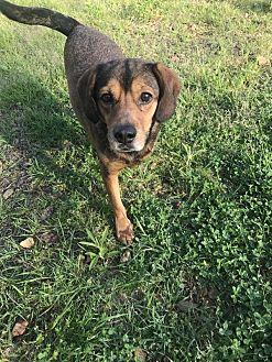 Hound (Unknown Type)/Beagle Mix Dog for adoption in Jackson, Mississippi - Sport