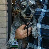 Standard Schnauzer Dog for adoption in Encino, California - Heidi