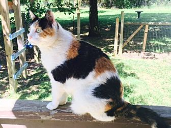 Calico Cat for adoption in Austin, Arkansas - Lily