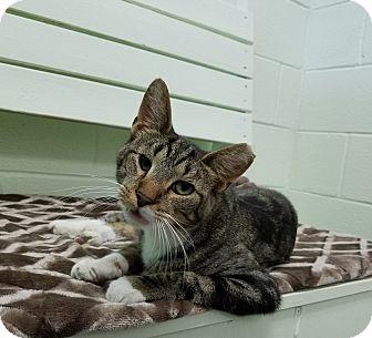 Domestic Shorthair Cat for adoption in Elyria, Ohio - Sam