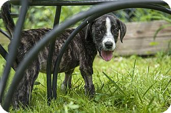 Hound (Unknown Type)/Boxer Mix Puppy for adoption in Waterbury, Connecticut - Hope