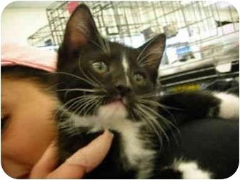 Domestic Shorthair Kitten for adoption in Riverside, Rhode Island - Sunny