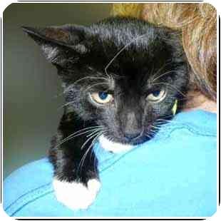 Domestic Shorthair Kitten for adoption in San Clemente, California - JOHN