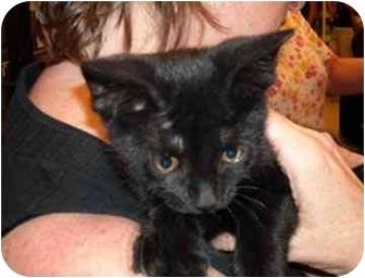 Domestic Shorthair Kitten for adoption in Colmar, Pennsylvania - Midnight