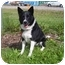 Photo 4 - Border Collie Dog for adoption in Austin, Minnesota - Pepper