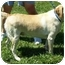 Photo 1 - Labrador Retriever Mix Dog for adoption in Somerset, Pennsylvania - Bella