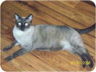 Siamese Cat for adoption in Gaithersburg, Maryland - SOLOMON