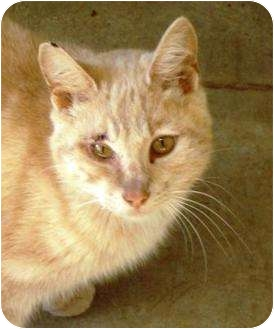 Domestic Mediumhair Cat for adoption in Irvington, Kentucky - Ansell