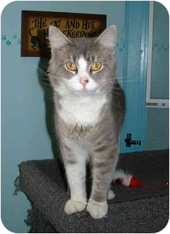 Domestic Mediumhair Cat for adoption in Honesdale, Pennsylvania - Vinnie