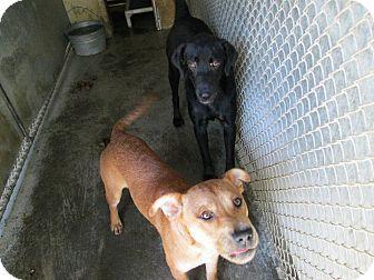 Labrador Retriever Mix Dog for adoption in Henderson, North Carolina - Ace Lance Vance