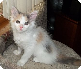 Domestic Mediumhair Kitten for adoption in Acme, Pennsylvania - Jewel