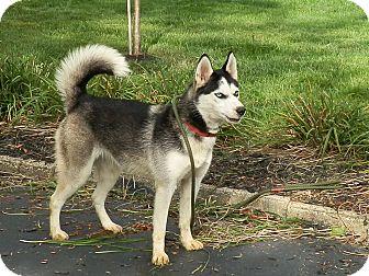 Siberian Husky Dog for adoption in Zanesville, Ohio - Chloe