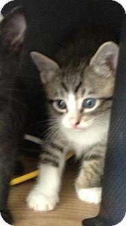 Domestic Shorthair Kitten for adoption in West Palm Beach, Florida - FLASH