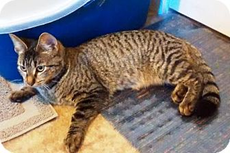 Domestic Shorthair Cat for adoption in Turnersville, New Jersey - Pippa