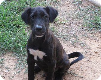 Golden Retriever/Labrador Retriever Mix Puppy for adoption in Rochester, New York - Mickey