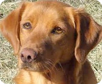 "Labrador Retriever Mix Dog for adoption in Winchester, Kentucky - PENNY(OUR ""LAB PETITE""-TRAINED"