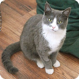 Domestic Shorthair Cat for adoption in Knoxville, Tennessee - Toby
