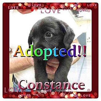 Australian Shepherd Mix Puppy for adoption in Kenmore, New York - Constance