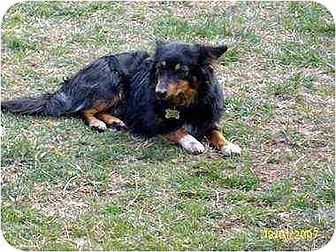 Corgi/Dachshund Mix Dog for adoption in Lincolndale, New York - Tucker